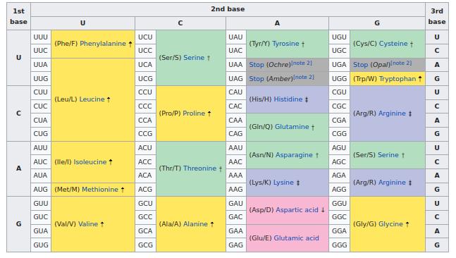 The RNA codon table (Wikipedia)